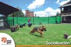 Trabajo de socialización canina.