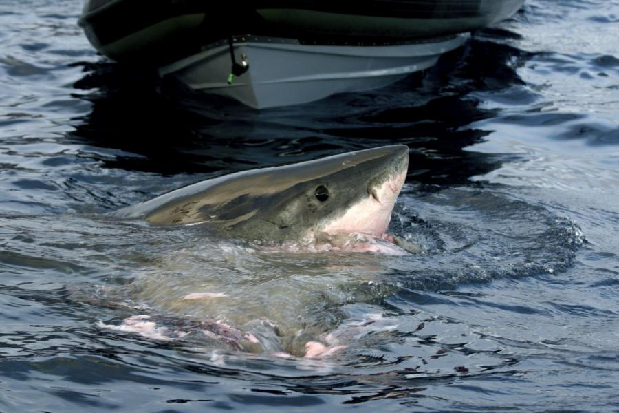 Shark Protection and Preservation Association