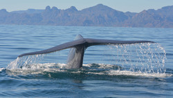 The-Great-Whale-Conservancy