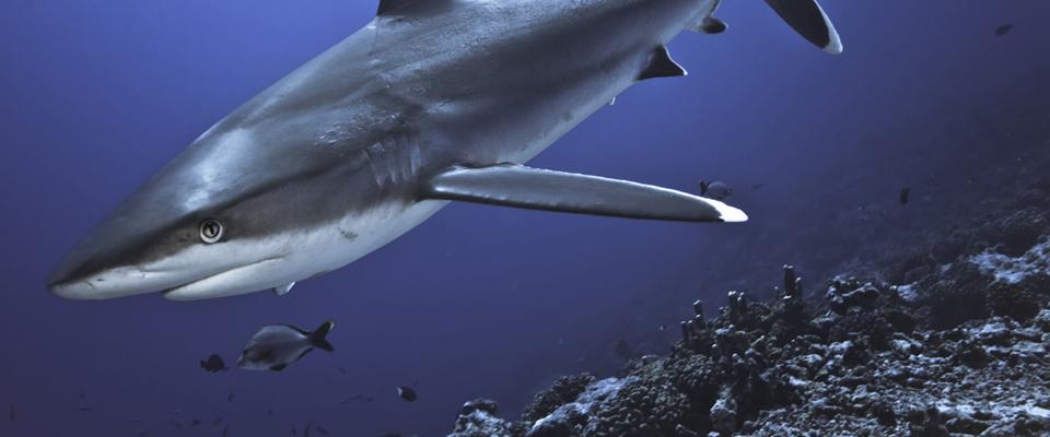 Shark Savers