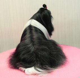 wzorowo utrzymany włos shih tzu