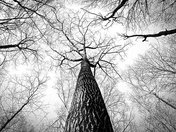 gratisography-tall-tree-barren.jpg