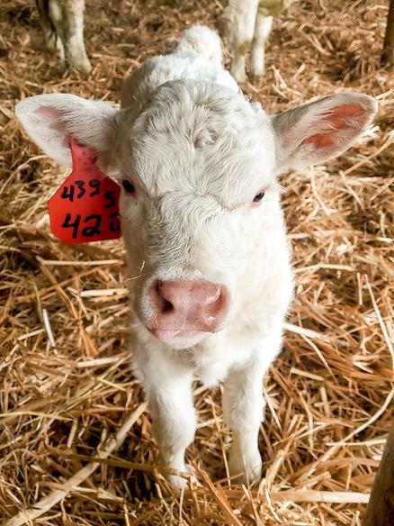 baby calf.jpg