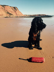 Sandy Paws and Waggy Tails. Dog walker Exmouth. Dog walker East Devon. Dog walker Topsham. Dog walker Lympstone. Dog walking Exmouth, dog walking East Devon, dog walking Budleigh Salterton, Dog Walking Topsham, dog walking Lympstone, dog walking Woodbury Devon, dog walking Otterton dog running, spaniel, Exmouth Beach,