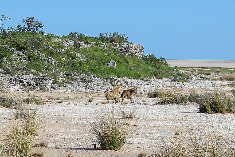Etosha-Nationalpark-Namibia-Selbstfahrer-Regenzeit-Hyänen-Safari-Tiere