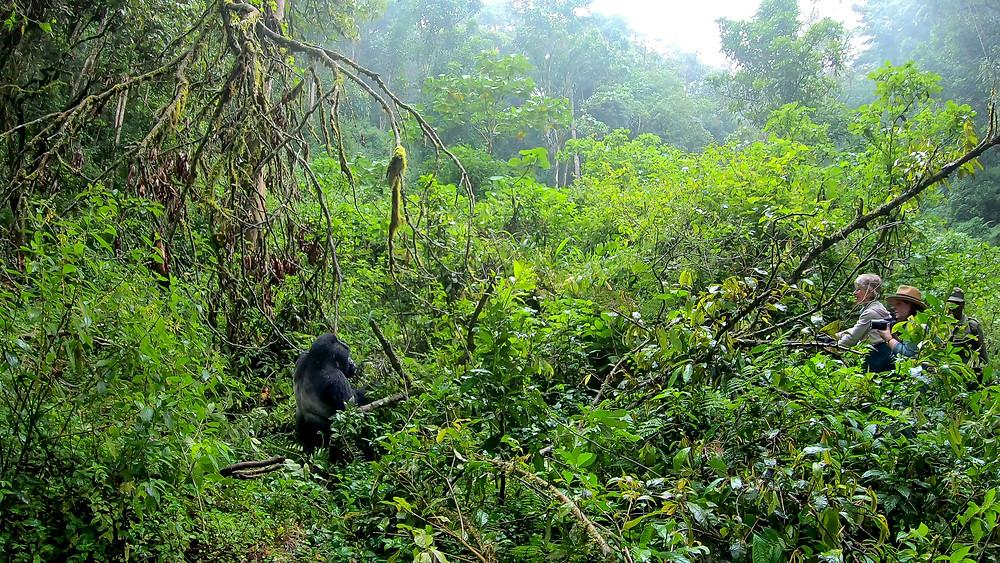 Uganda-Gorilla-Trekking-Kosten-Reisebericht-Biwindi