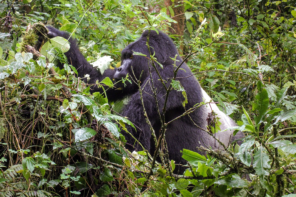 Uganda-Gorilla-Trekking-Kosten-Reisebericht-Silberrücken
