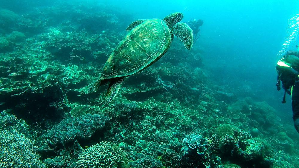 Apo-Island-Philippinen-Reisebericht-Tauchen