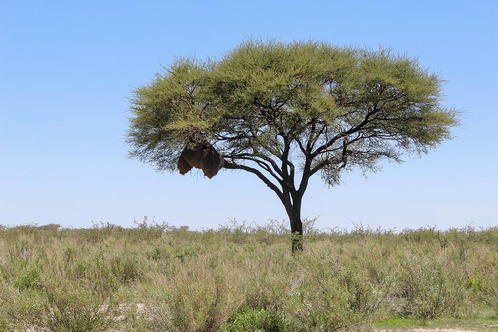 Namibia-Nest-Webervogel