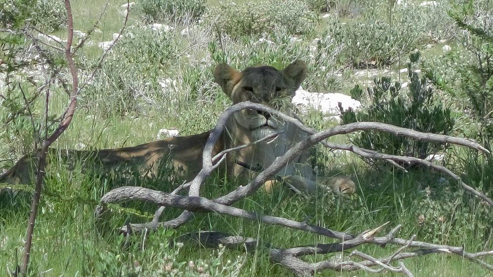 Etosha-Nationalpark-Namibia-Selbstfahrer-Reisebericht-Löwe