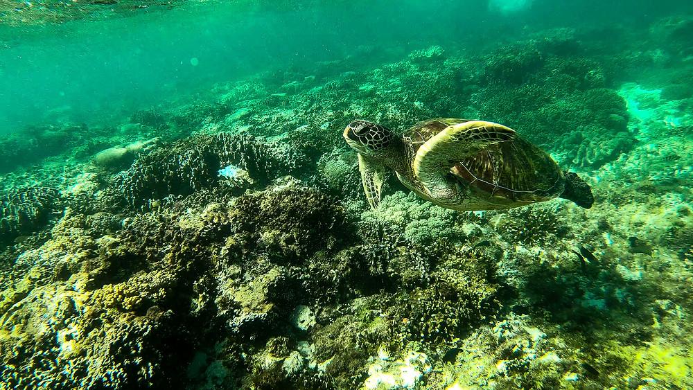 Apo-Island-Philippinen-Reisebericht-Schildkröten