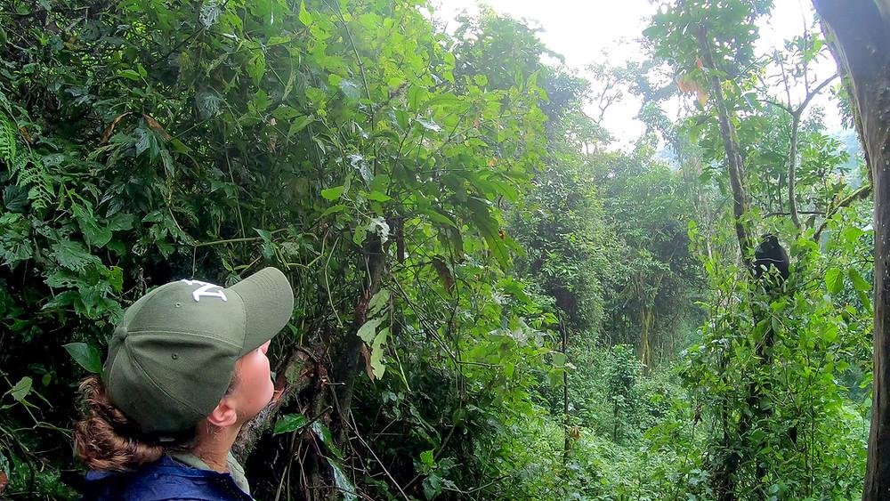 Uganda-Gorilla-Trekking-Kosten-Reisebericht-Permits