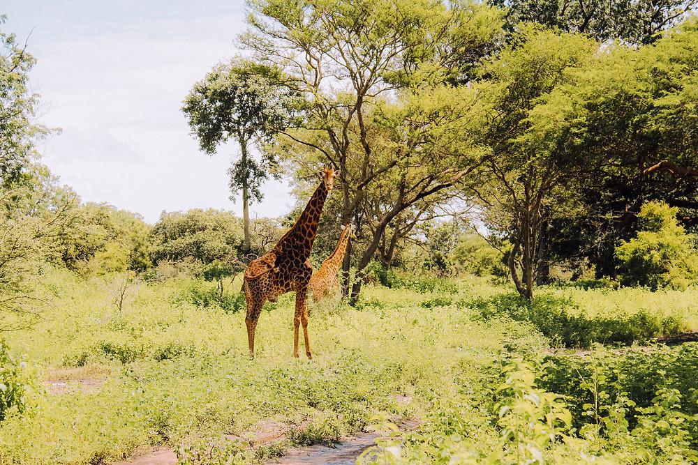 Senegal-Gambia-Urlaub-Safari-Reisebericht-Fathala-Reservat-Regenzeit-Giraffe