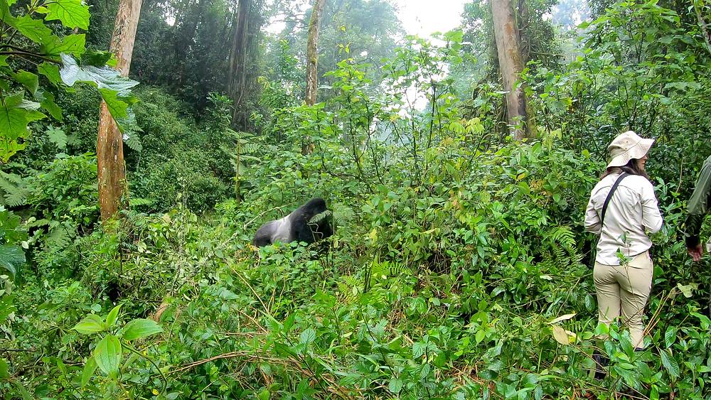 Uganda-Gorilla-Trekking-Kosten-Reisebericht-Permit