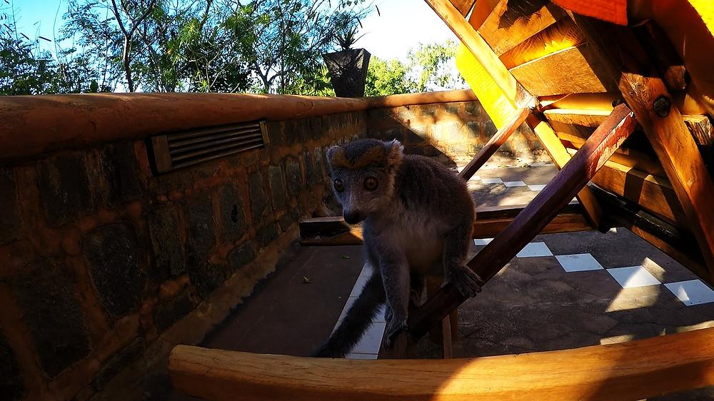 Kiki der Lemur im Suarez Hotel