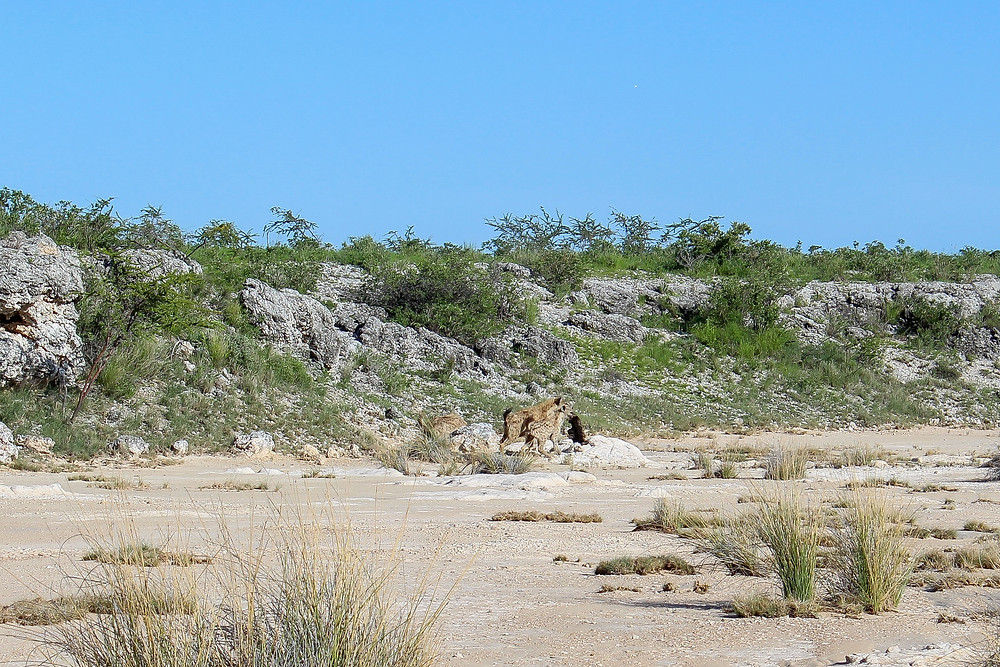 Etosha-Nationalpark-Namibia-Selbstfahrer-Camping-Regenzeit-Hyänen-Tiere