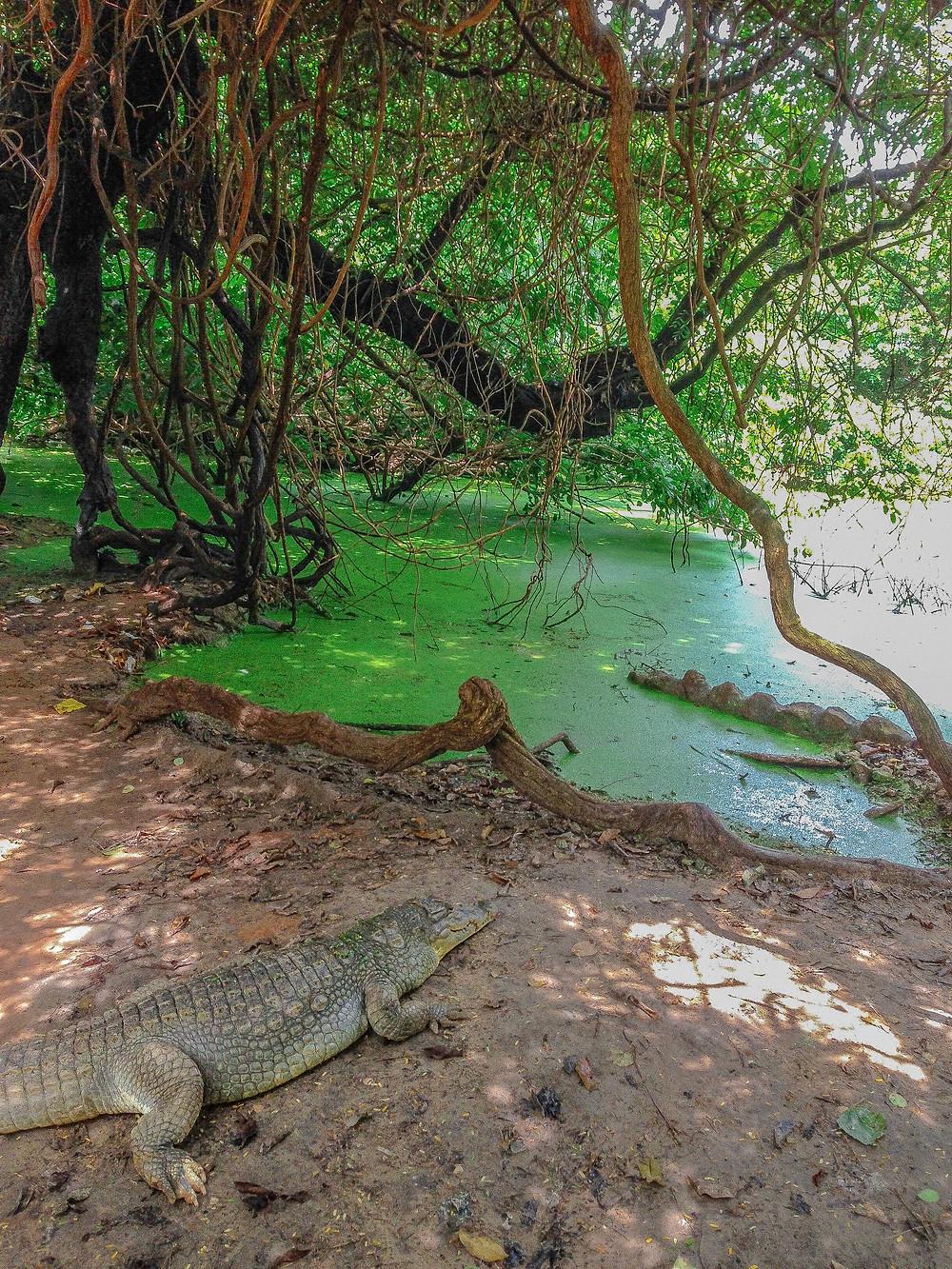 Gambia-Urlaub-Reisebericht-Katchikally-Krokodil