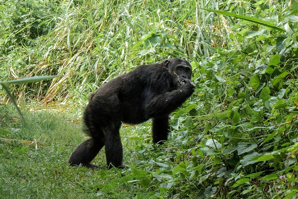 Uganda-reisetipps-reiseblog-schimpansen-trekking