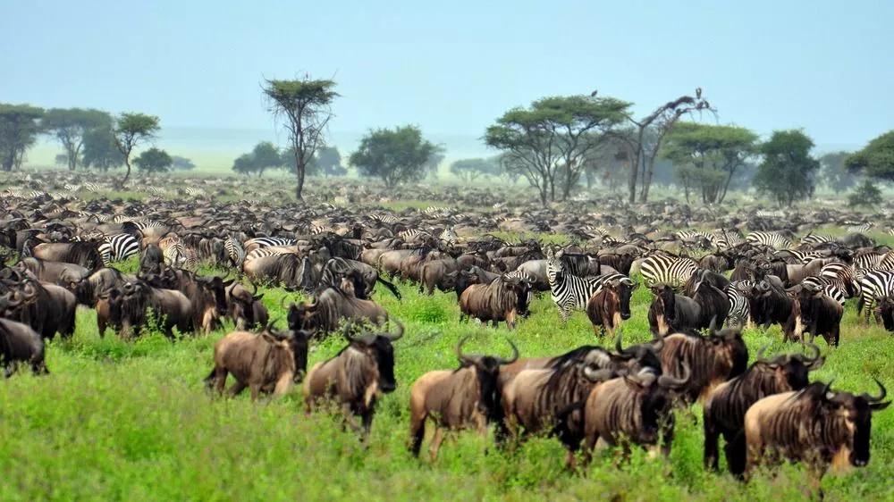 Tansania-Urlaub-safari-serengeti-Tierwanderung