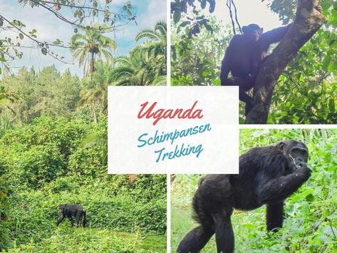 Uganda: Schimpansen Trekking im Kibale Forest Nationalpark