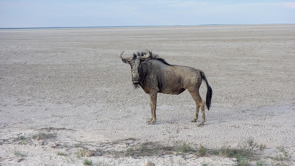 Etosha-Nationalpark-Namibia-Selbstfahrer-Camping-Regenzeit-Etosha-Pfanne-Gnu