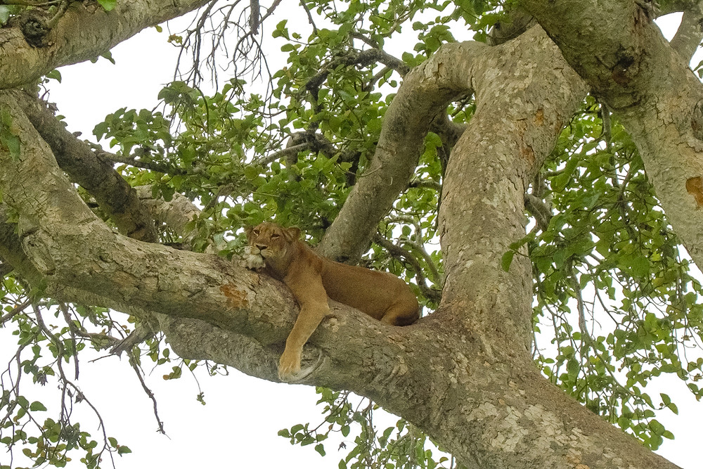 Uganda-Tree-Lion-safari-erfahrung