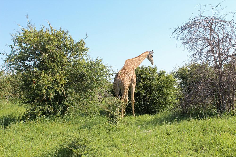 Etosha-Nationalpark-Namibia-Selbstfahrer-Camping-Regenzeit-Safari-Tiere