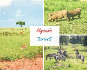 uganda-safari-reisebericht