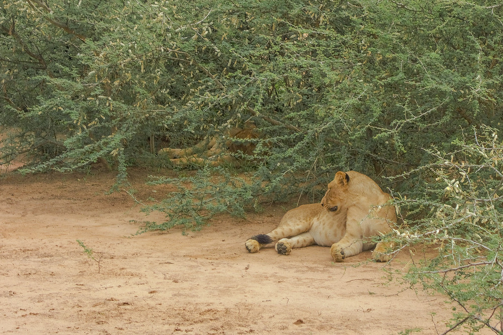Uganda-Safari-Löwen-reisebericht