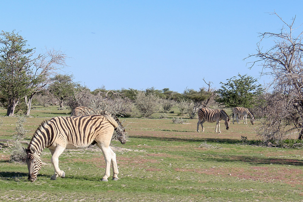 Etosha-Nationalpark-Namibia-Selbstfahrer-Camping-Regenzeit-Tiere