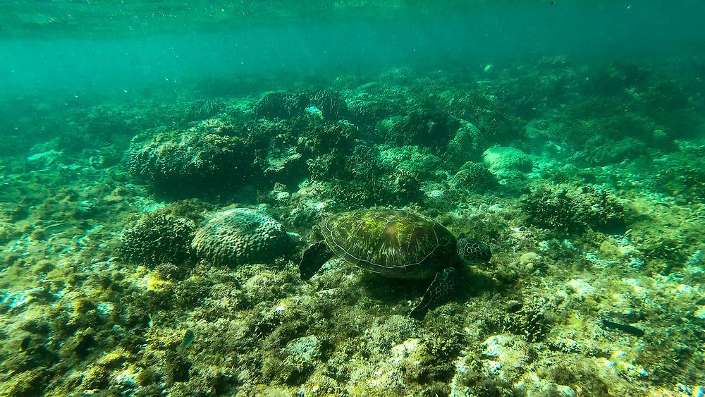 Apo-Island-Philippinen-Reisebericht-schnorcheln