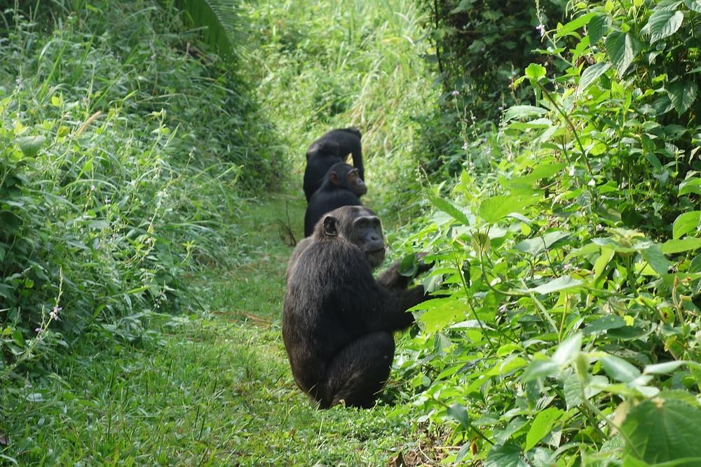Uganda-Schimpansen-Trekking-Kosten-Kibale-Forest-Reisebericht