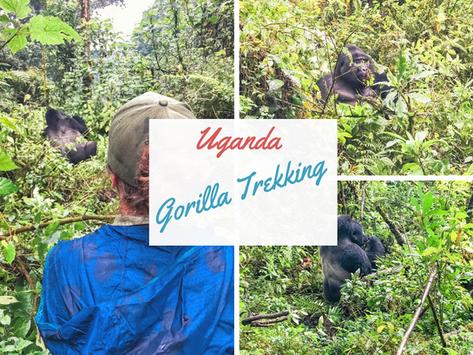 Uganda: Unvergessliches Gorilla Trekking im Regenwald vom Bwindi Nationalpark