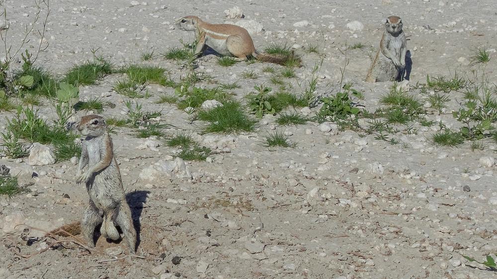 Etosha-Nationalpark-Namibia-Selbstfahrer-Camping-Regenzeit-Erdhörnchen
