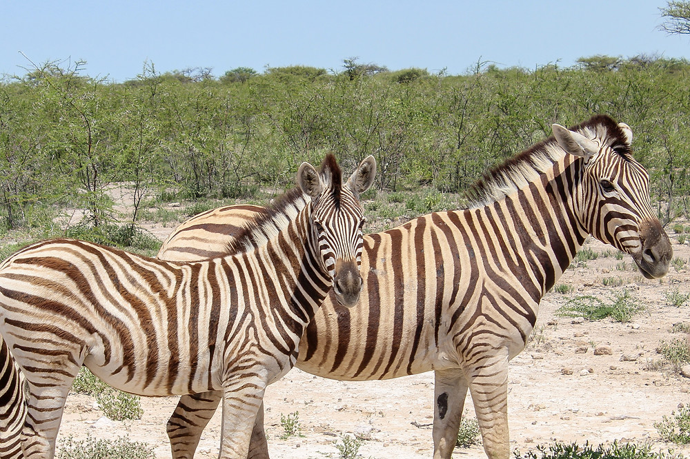 Etosha-Nationalpark-Namibia-Selbstfahrer-Camping-Regenzeit-Reisebericht