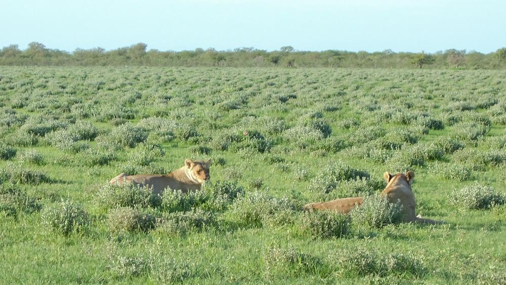 Etosha-Nationalpark-Namibia-Selbstfahrer-Camping-Regenzeit-Löwen-Safari-Reisebericht