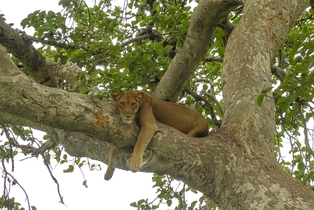 Uganda-Tree-Lion-safari-Reisebericht
