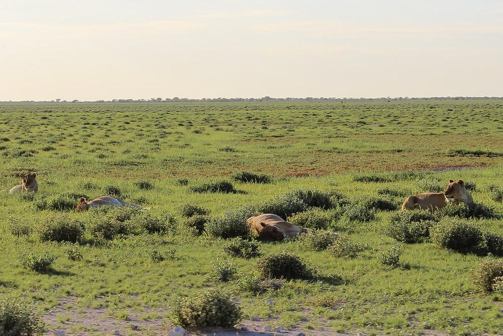 Etosha-Nationalpark-Namibia-Selbstfahrer-Regenzeit-Löwen