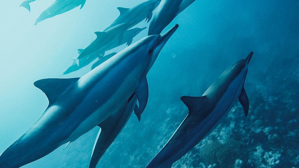 wilde Delfineauf Mauritius