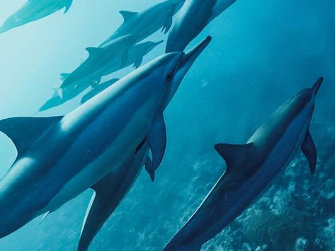 Schwimmen mit wilden Delfinen auf Mauritius