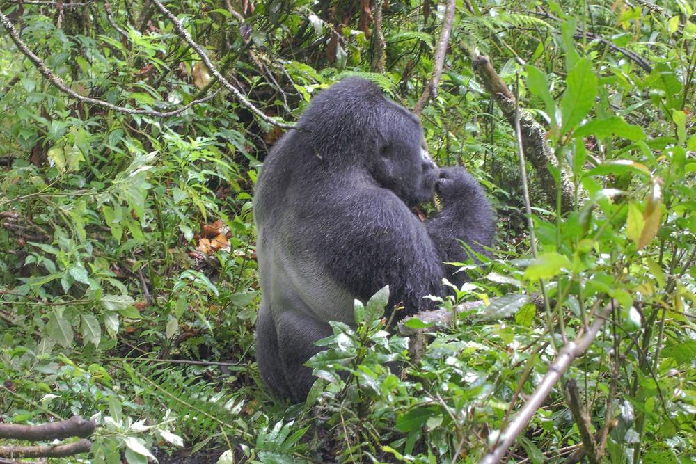 Uganda-Gorilla-Trekking-Kosten-Reisebericht-Berggorilla