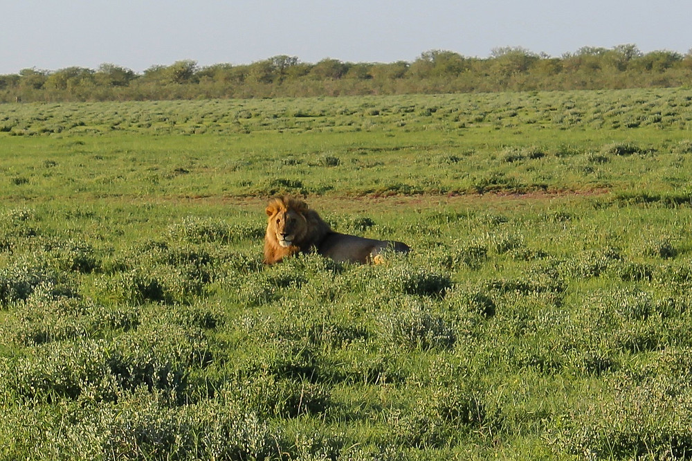 Etosha-Nationalpark-Namibia-Selbstfahrer-Löwen-Safari-Regenzeit