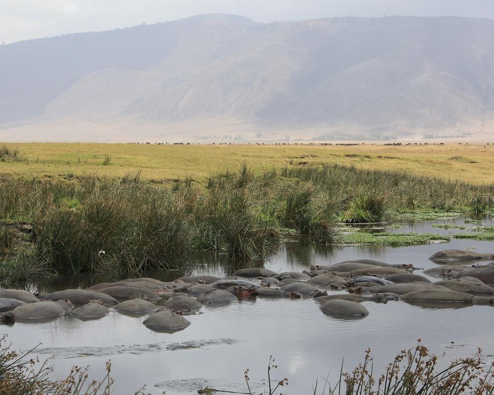 Tansania-lake-Manyara-Flusspferde-safari-Hippo