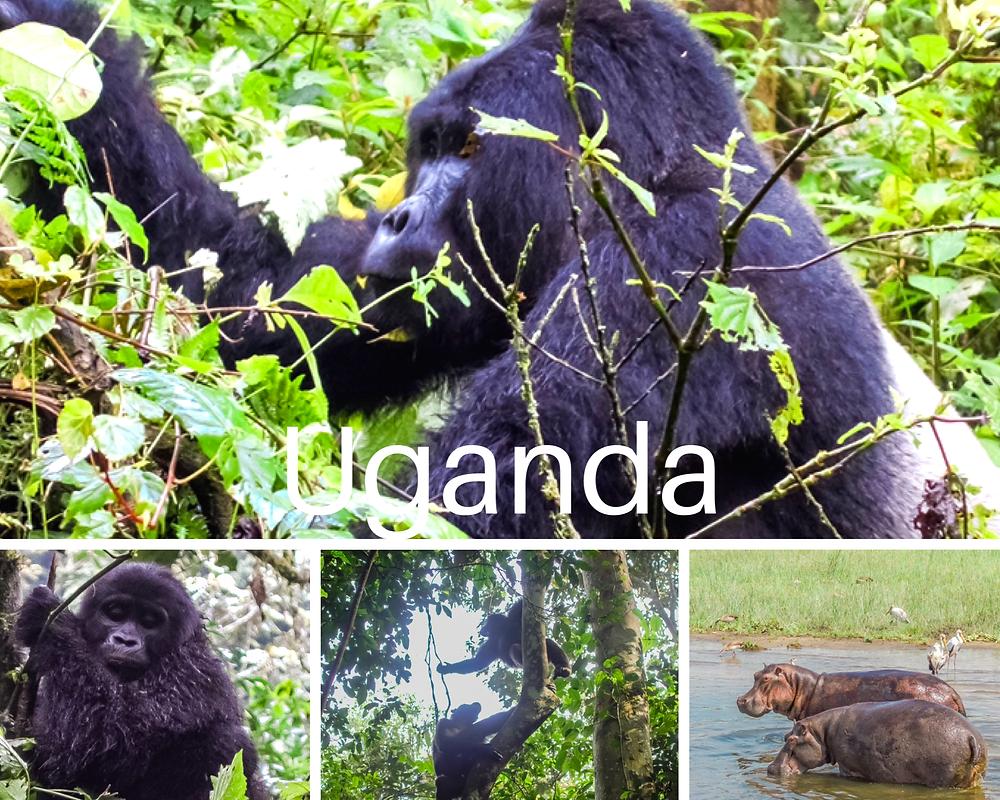 uganda-gorilla-trekking-regenwald-reisebericht-kosten