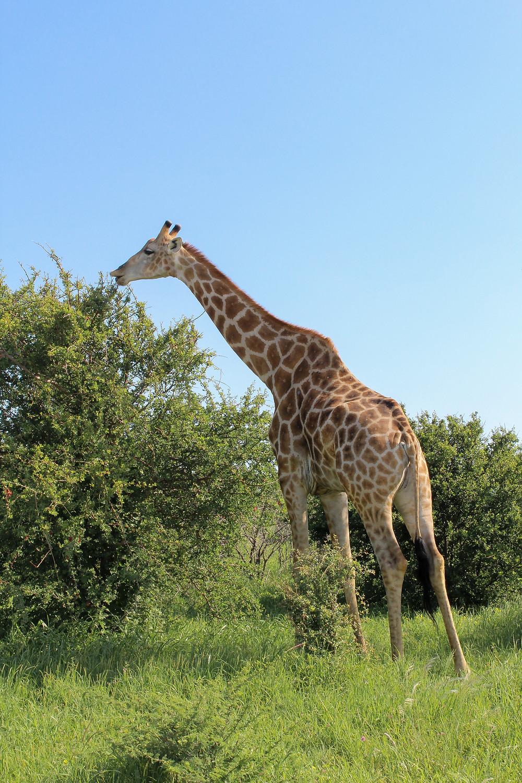Etosha-Nationalpark-Namibia-Giraffen-Regenzeit-Selbstfahrer-Tiere