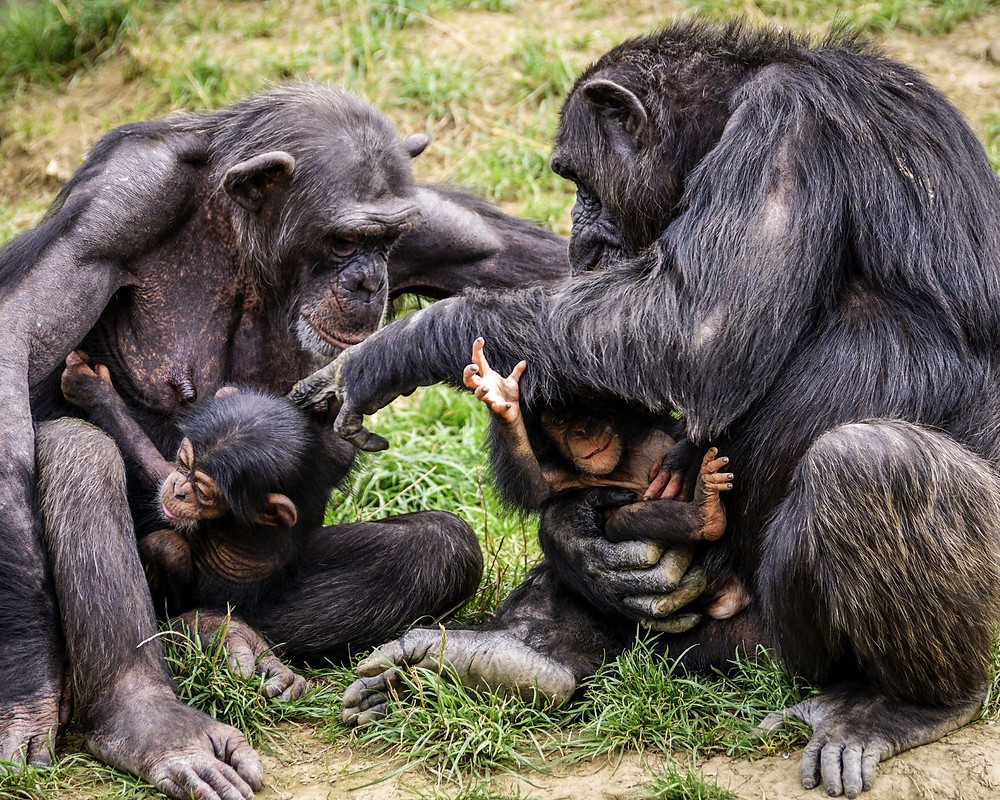 Tansania-Urlaub-Reisetipps-Rundreise-Highlights-Kosten-Schimpansen