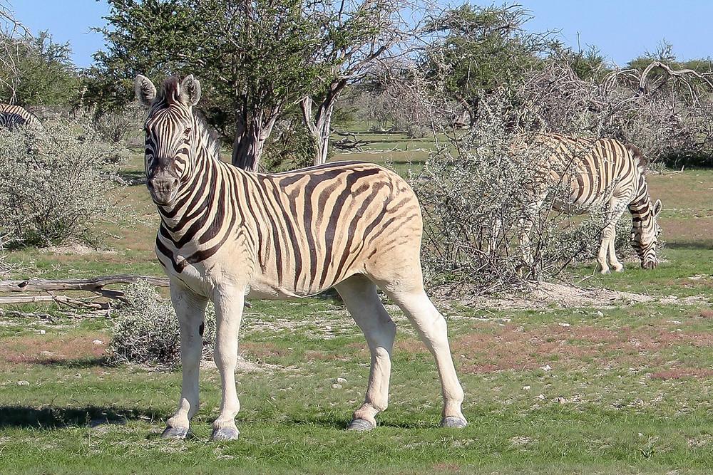 Etosha-Nationalpark-Namibia-Safari-Zebra-Reisebericht