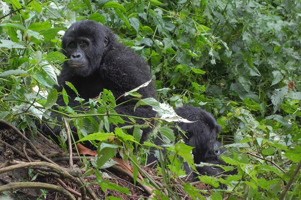 Uganda-Gorilla-Trekking-Kosten-Reisebericht-Rushaga