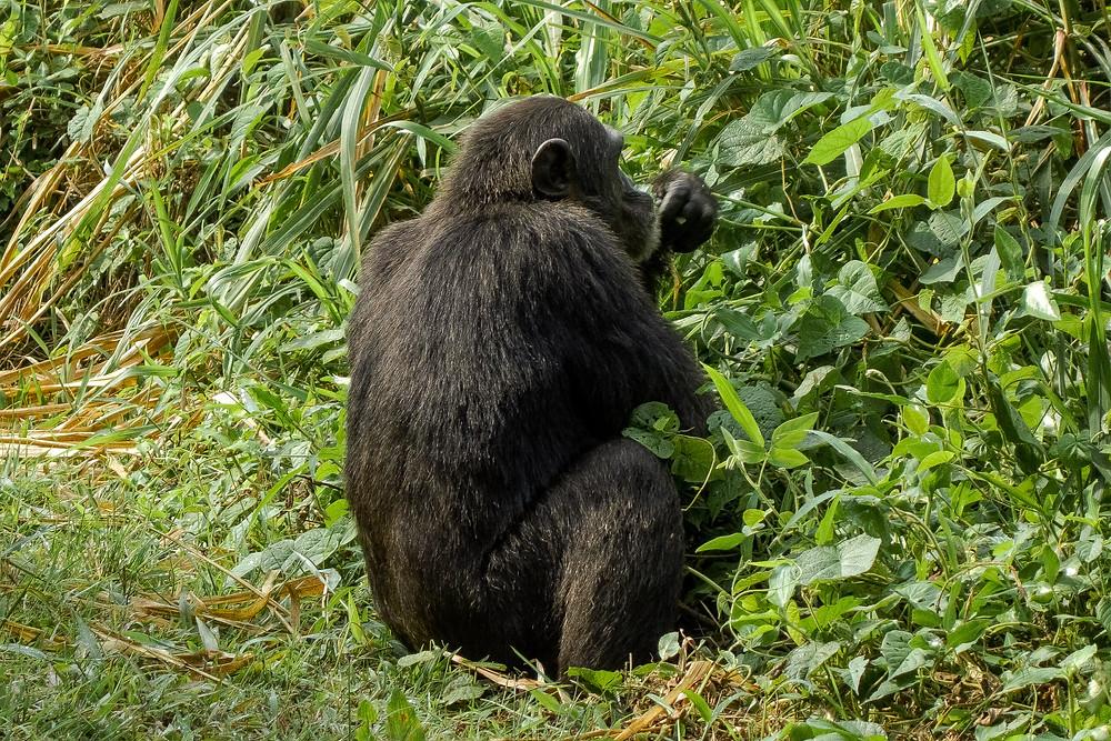 Uganda-schimpansen-trekking-reisebericht