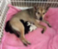 Dog with puppies at Hope for Life Rescue